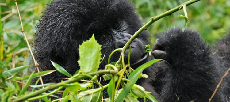 16 days cheap Uganda safari