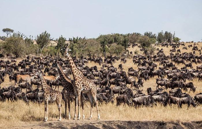 wildbeest migration in masai mara