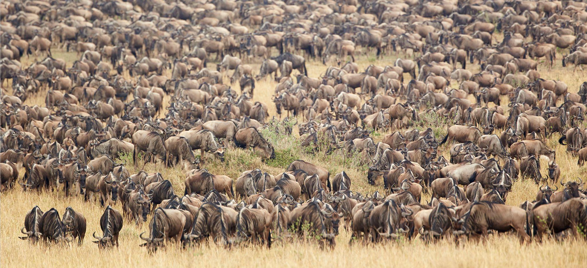 5 days Masai Mara wildebeest migration safari