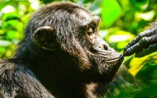5 Days Uganda Flying Gorilla & Chimpanzees trekking safari