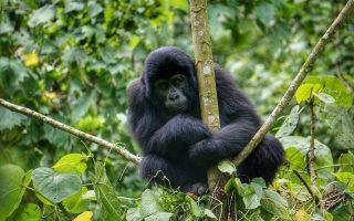 4 Days Rwanda Gorilla & Golden monkey trekking safari