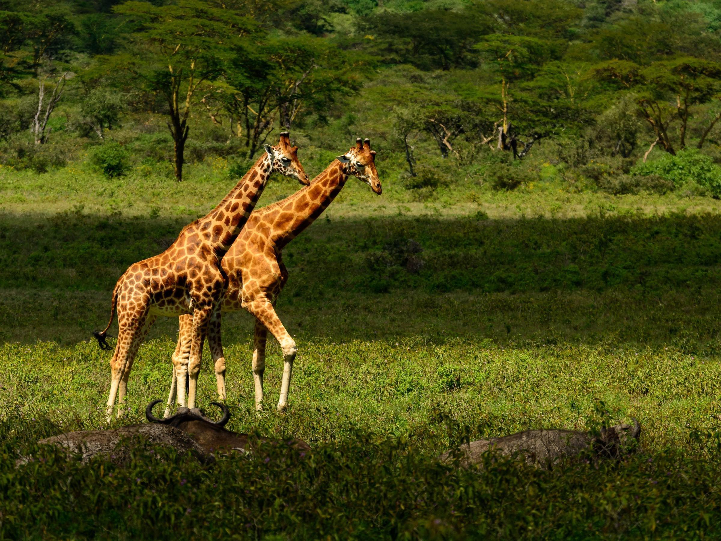 Giraffes in Lake nakuru