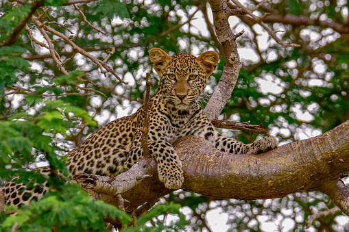 leopards in Tsavo West National Park